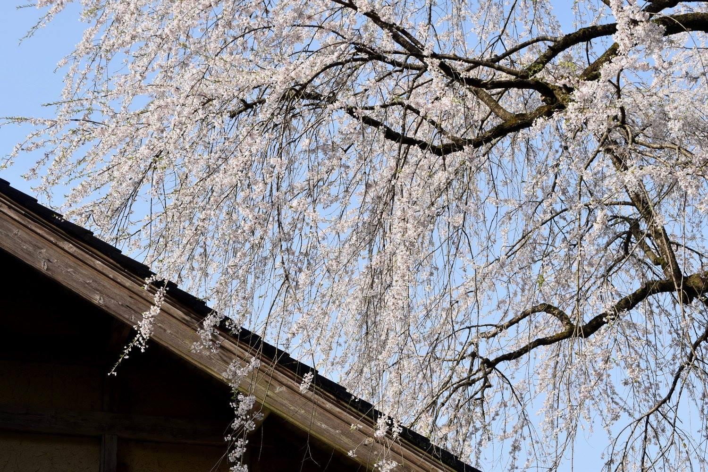 sakura chieko50606_o